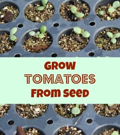 This step by step guide on how to grow tomatoes from seeds is the easiest way to grow them! You can do it indoors or outdoors using items around your house!